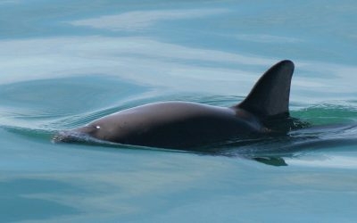 Join the world's first virtual hackathon to save vaquita